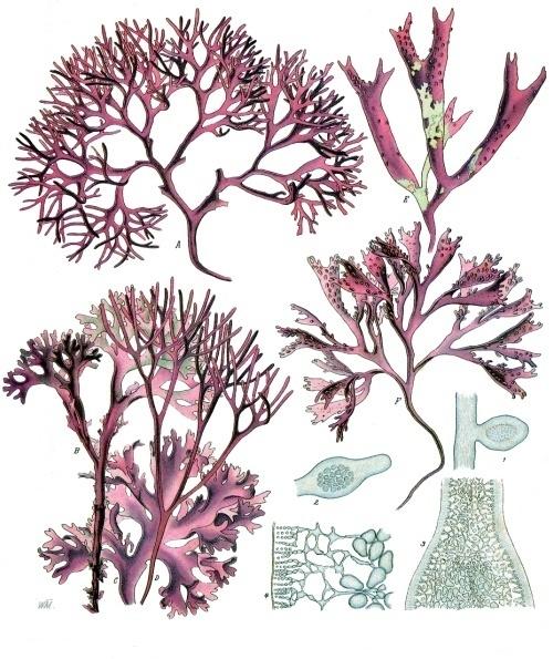 Différentes formes d'algues rouges