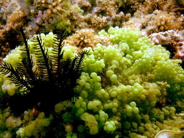 Caulerpe dite racemosa par Siratus