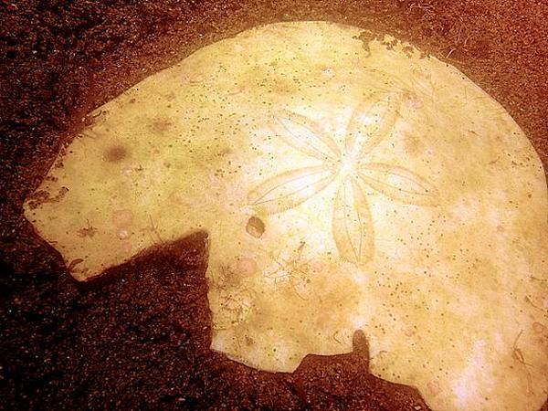 Dollar des sables et son étoile par Siratus