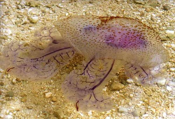 Méduse des Philippines par Siratus