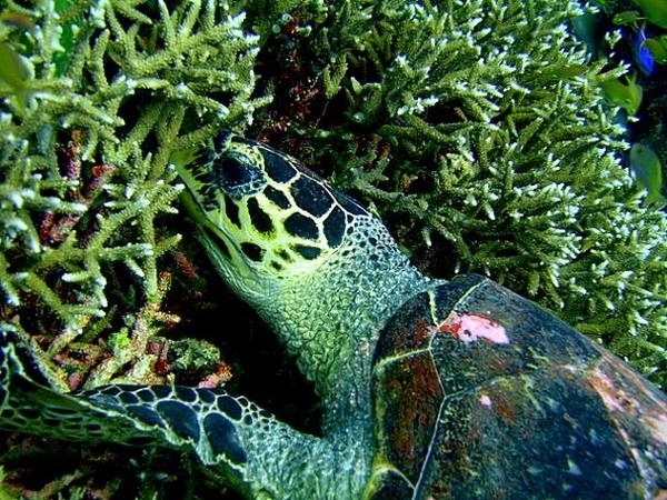 La tortue imbriquée de Siratus a faim !