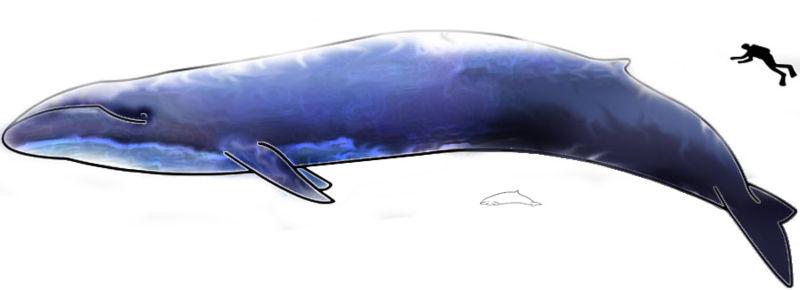 Baleine bleue et plongeur
