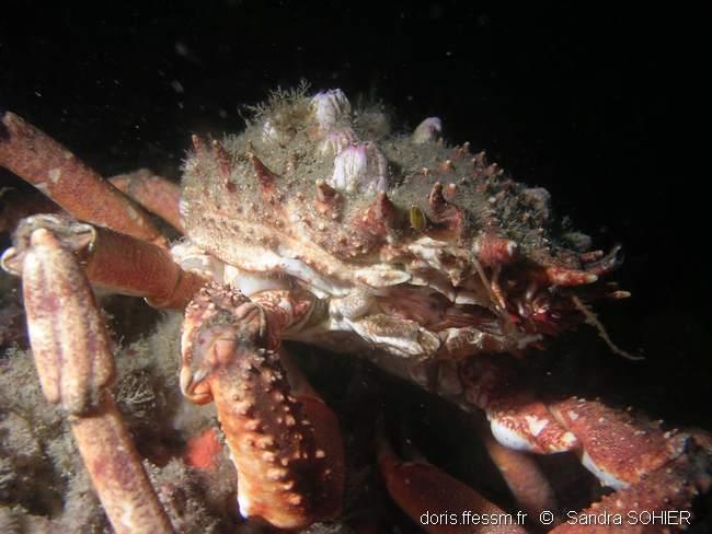Gros plan sur une araignée de mer par Sandra sohier