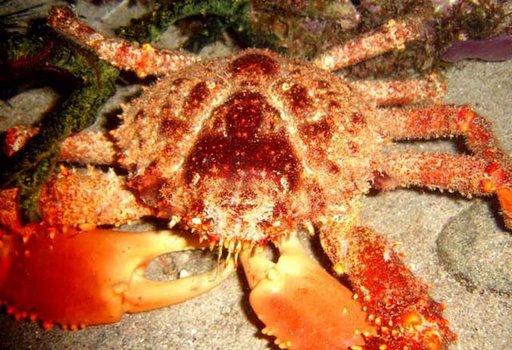 araignée de mer par Robert Nopre