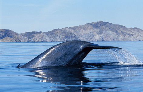 baleine bleue de Gérard Soury