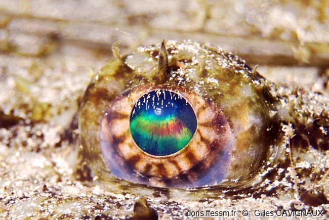 Oétail de l'oeil de la lotte par Gilles Cavignaux