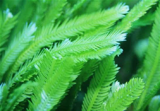 Caulerpe dite taxifolia (l'algue tueuse) par Olivier Le Corre