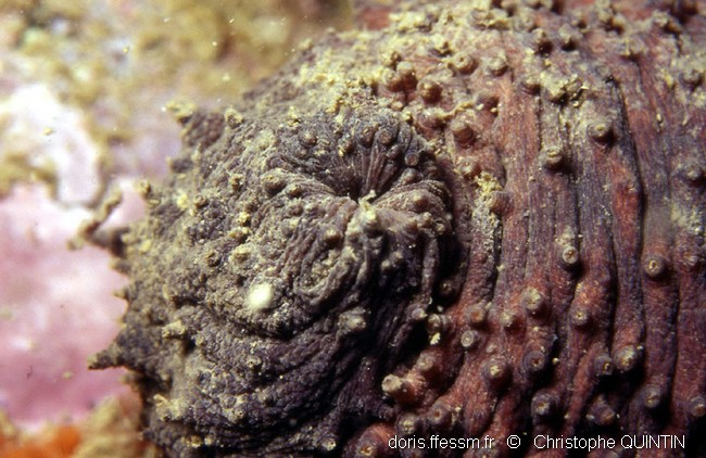Concombre de mer - bouche ou anus ?? par Christophe Quintin