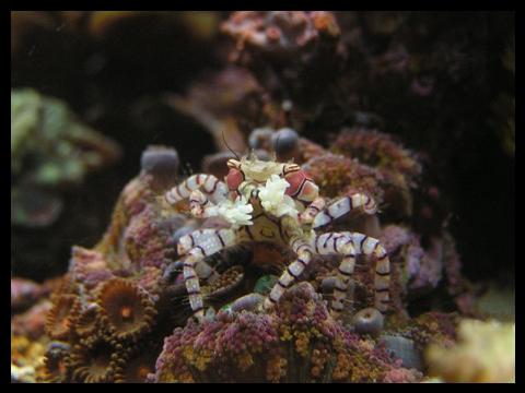 crabe boxeur par Meloce