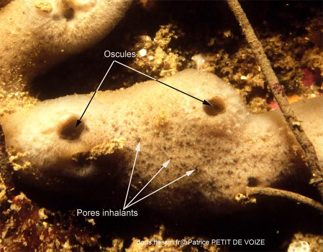 Eponge tube de fer oscules et pores inhalants par Patrice Petit de voize