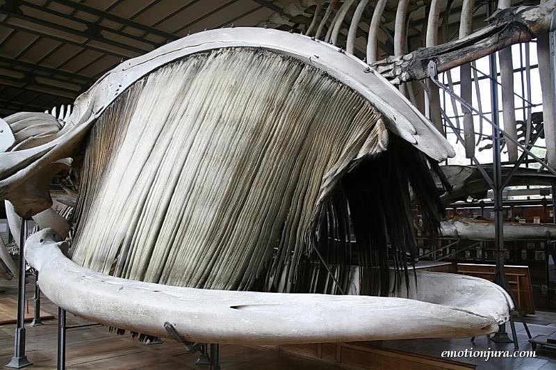 fanons de baleine franche par Jean-Michel Hugues Dit-Ciles