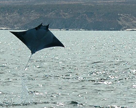 Devil ray (espèce de la raie Manta) par Paolo Macorig