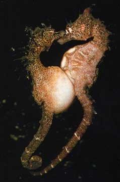 hippocampes amoureux par Rudie H Kuiter