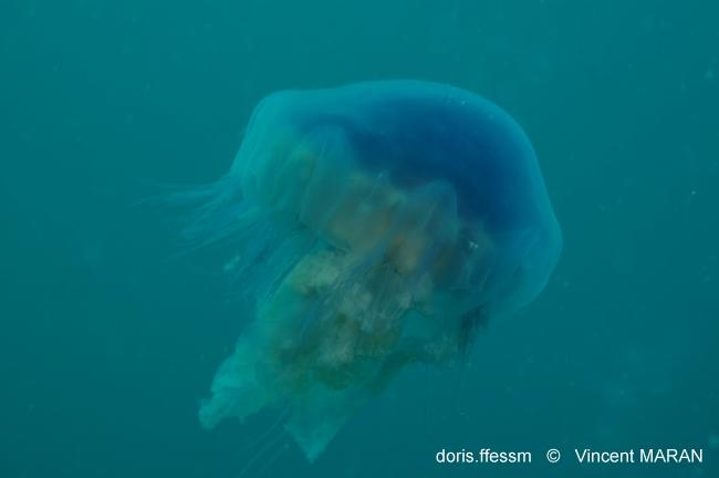 Méduse cyanée par Vincent Maran