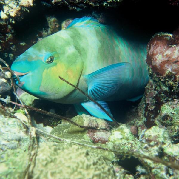 poisson perroquet - domaine public