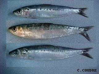 Sardines par Christian coudre