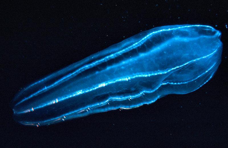 zooplancton - domaine public
