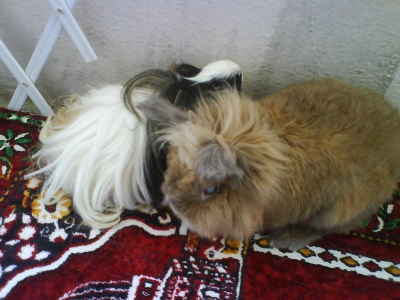 garde de lapins et cobaye à domicile